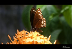 (R.Sreeram) Tags: brown butterfly kerala orangeflower kollam butterflyonflower sreeram abigfave commonmime flickrlovers