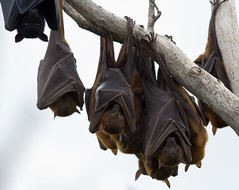 FLYING FOXES (petefeats) Tags: nature australia qld mammals bats yeppoon blackflyingfox littleredflyingfox cabbagetreecreek