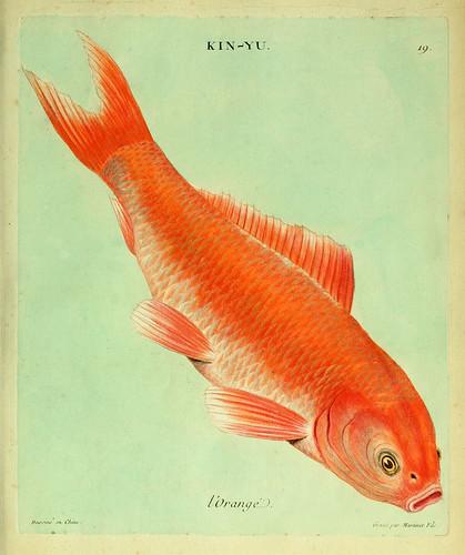 007-El naranja-Histoire naturelle des dorades de la Chine-Martinet 1780
