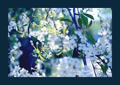 Spring Beauty (Thushan S. Withana-Gamage) Tags: summer canada flower whiteflower spring bravo srilanka sprung sinhala magicdonkey thushan naturewatcher theperfectphotographer thushansanjeewa