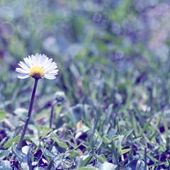 Piano solo (da sogno) (FotoRita [Allstar maniac]) Tags: life italy rome flower roma colors digital canon bokeh daisy fiore myfavourites canoneos350d eos350d margherita byfotorita pianosolodasogno
