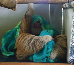 We Found Obi-Wan ! (Jey's eyes) Tags: costa star rica sloth obi wars wan kenobi