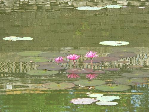 nénuphars à Hué