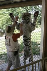 Amur Tiger training (fencinggerbil) Tags: louisvillezoo