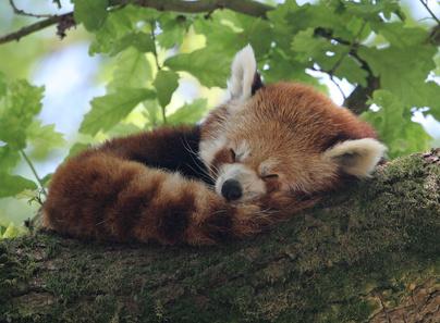 red panda asleep