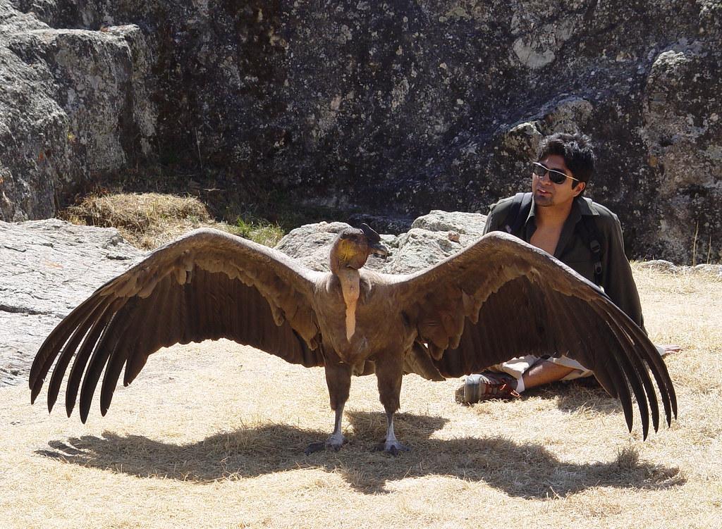 DSC02034 Andean Condor