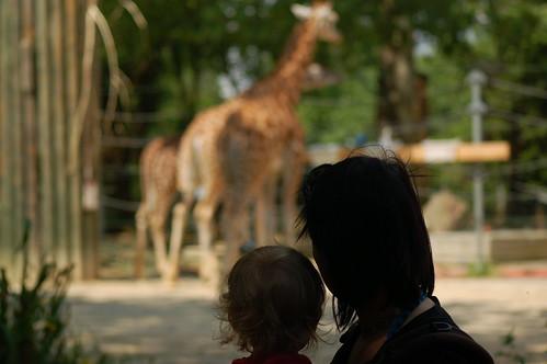 De giraffen