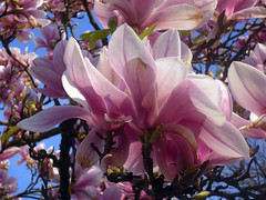 Pink Sky (Nicote) Tags: park pink sky flower tree beautiful germany spring branch blossom bloom april magnolia flowering springtime tübingen nicote