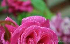 Flower (Rafakoy) Tags: flower color colour green nature wet water colors rain rose closeup digital drops bokeh drop colous nikond90 aldorafaelaltamirano rafaelaltamirano aldoraltamirano