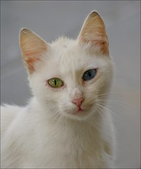 eyes (Jacqueline Clowting) Tags: blue white green cat eyes kat groen blauw ogen wit poes