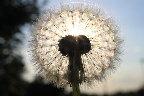 フリー写真素材, 花・植物, キク科, タンポポ, 種子,