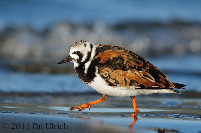 Running ruddy turnstone - Pat Ulrich Wildlife Photography