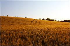 Sunset on a wheat field (Erri-up) Tags: sunset field canon landscape tramonto wheat campagna bologna paesaggio emiliaromagna campodigrano efs1855mmf3556is eos550d rebelt2i kissx4