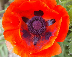 Another try at photographing a red poppy