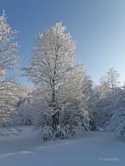 Zasneena Parga (natalija2006) Tags: winter snow tree nature slovenia zima natalija sneg parga narava topshots drevo theunforgettablepictures thebestofmimamorsgroups npisec