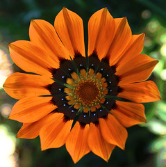 For you... (Mar*~) Tags: orange flower verde green closeup fleurs petals dof bokeh laranja flor blumen vert gazania grn fiori naranja foryou 4u anaranjado petalos gazaniarigens mysecretgarden sonydslr sonyalphadslra200 seriegazaniarigens aunquetunolosepas