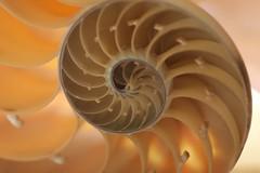 Backlit Nautilus Shell