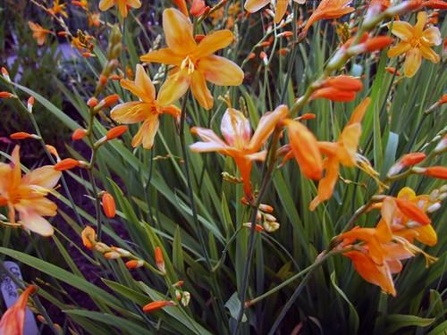CROCOSMIA x crocosmiiflora 'Lady Hamilton'