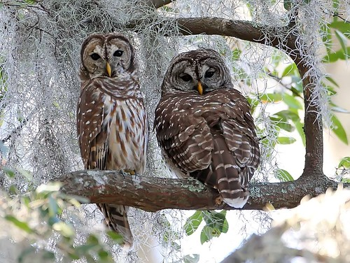 barred-owl-pair