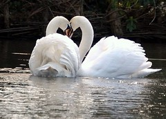 mates for ever swans (coral.hen4800) Tags: 1001nights aplusphoto avianexcellence mindigtopponalwaysontop