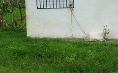 white goat (Vicki Dixon) Tags: white grass goat tied
