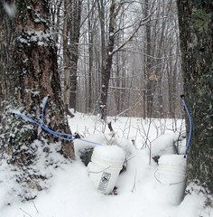 Snow-covered sap buckets