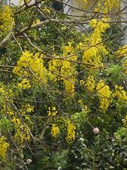 DSCN0622 (Sujith S) Tags: india flower kerala kochi chingam kanikonna