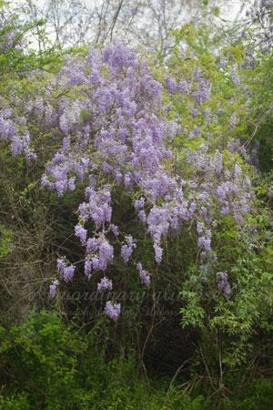 wisteria040309_0011web