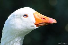papera ..........  no mi dicono che sono un'oca! (dolopo) Tags: occhi bianca azzurro bianco occhio arancio arancione celeste papera becco piume celesti piumaggio papare