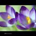 |Purple Crocus|