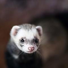 Sad Ferret (*Firefox) Tags: fur ferret somerset whiskers cal secretworld canonef135mmf2lusm canoneos5dmarkii easthuntspill mustelaputorisfuro