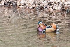 20090419 Hirosaki 026 (kavik379) Tags: duck cherryblossom sakura hirosaki