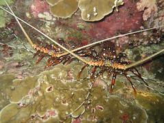 lobsters - langusztk (Miklos Volner) Tags: sea underwater scuba diving thai tropical lobster tenger andamansea rk vzalatt andamn languszta trpus