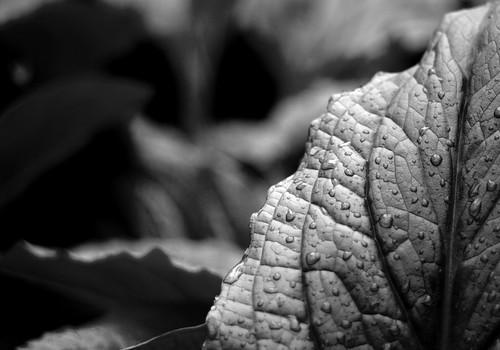 365.118 - Photowalk 17: Rainy Leaf