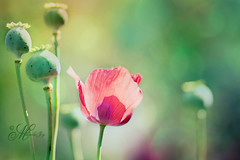 Pop, Pop, Poppy! (mjmatt) Tags: bokeh poppies botanicalgardens 85mm18
