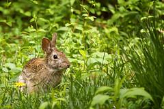 Beagle Bait (t.sullivan photography) Tags: rabbit bunny backyard wildlife