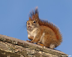 Red Squirrel / Ecureuil roux (Eric Bgin) Tags: nature animal squirrel wildlife olympus cureuil sigma135400mm mywinners e520 ericbegin vosplusbellesphotos