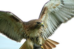 Red Tailed Hawk IMG_6675