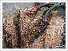 Step 2: Propagating Rhapis excelsa or Lady Palm, April 2 2009 at our backyard. Remove a third of its height