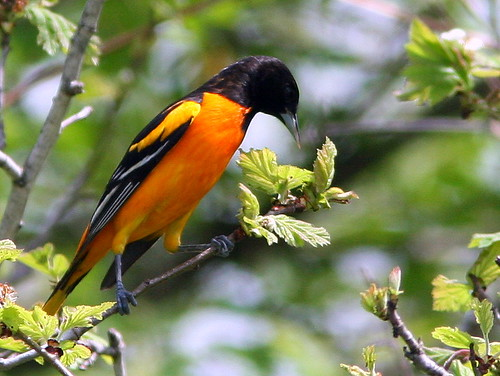 Baltimore Oriole 20090508