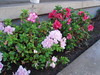 Feb 2008 007 (polarbearls) Tags: flowers yard back feb2008
