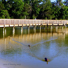 Ducks At Reed Canal Park (Chris C. Crowley) Tags: lake nature water birds animal swimming florida priceless ducks friendly waterbirds muscovyducks southdaytona walkinginbeauty chriscrowley reedcanalpark celticsong22 zenenlightenment yourfriendlyneighborhoodpark picsforpeace passarosbirdsaves