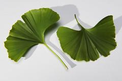 [フリー画像] [植物] [葉っぱ] [銀杏/イチョウ]        [フリー素材]