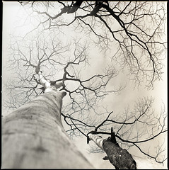 strength (S.H.CHOW) Tags: life blackandwhite bw tree 6x6 mediumformat square singapore kodak iso400 branches hc110 120film hasselblad neopan strength f28 planar finearts 80mm 500cm fujineopan400 selfdeveloped homedeveloped filmography 10mins   np400pr sunsetway autaut bathroomdevelopment 285c dilutionfg dilution1100 kodakhc1101100 shchowphotography 20090518500cmfnp400008web800 beenstayinghereforyearsanditotallyhavenotnoticedsuchbeautynearme imustbeblind