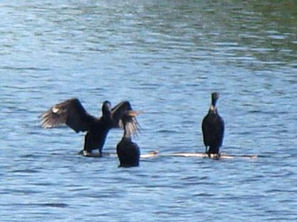 cormorant family 2