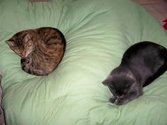 (k8southern) Tags: cats tabby sophie plum bluecat brownmackereltabby graycat browntabby