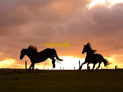 It takes two to tango ! (The Family Dog) Tags: horses horse silhouette fries ameland paard paarden frisian friese pferden friesische