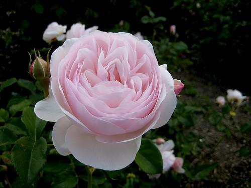 t.pinkrose copy