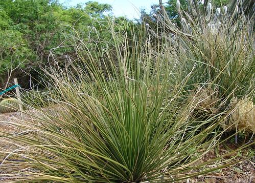 Bear Grass {nolina texana}