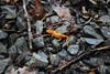 5-spotted newt, Notopthalmus viridescens (esagor) Tags: westvirginia newt fieldtour notopthalmusviridescens iufro ssf09 slagel